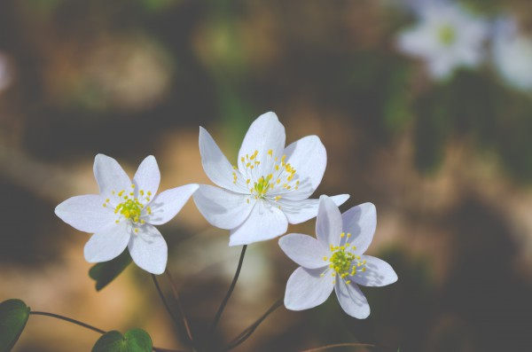 Rue Anemone (Thalictrum thalictroides)